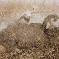 Lämmer Rabatt im Sheepshop