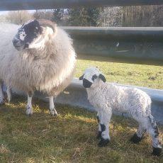 Update beim Lämmer-Rabatt im Sheepshop